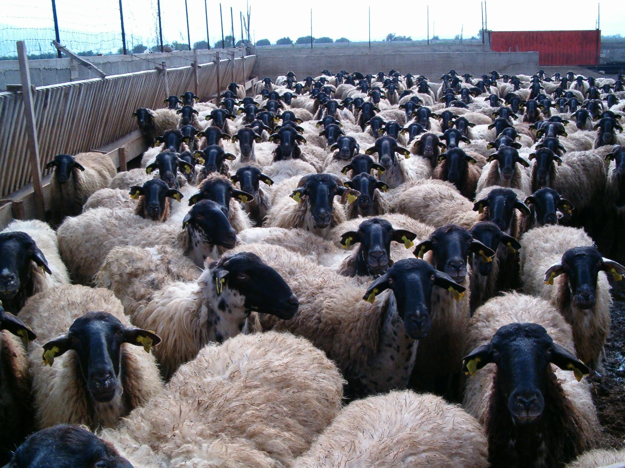 Πρόβατα Σερρών